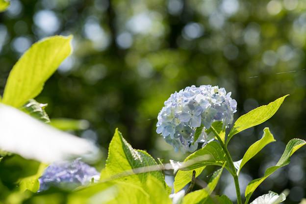 神代植物公園【青系アジサイ】1