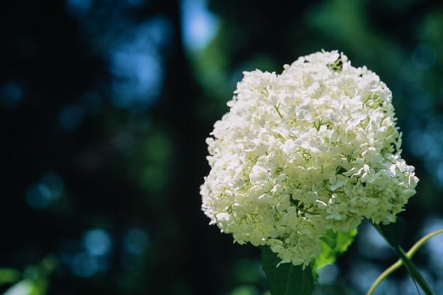 神代植物公園【アジサイ:アナベル】銀塩