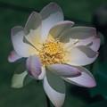 神代植物公園【蓮の花:緑地美人】銀塩