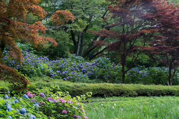 薬師池公園【アジサイの景色】2