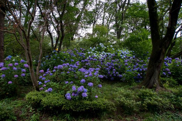 薬師池公園【アジサイの森】1