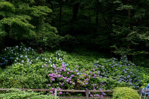 薬師池公園【アジサイの森】2