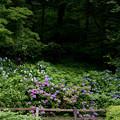 Photos: 薬師池公園【アジサイの森】2