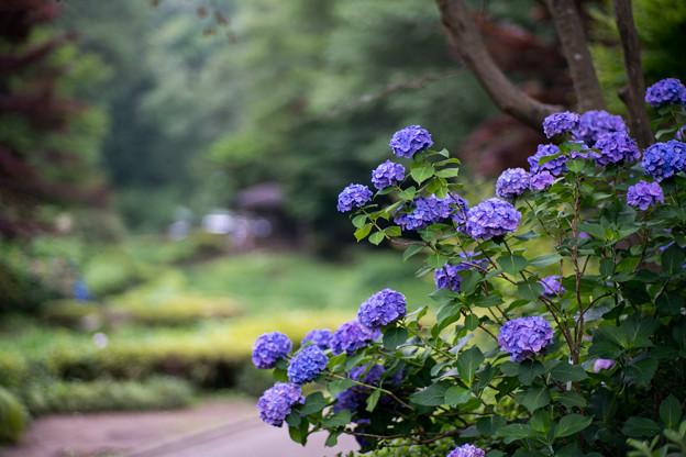 薬師池公園【青色系のアジサイ】1