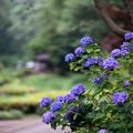 Photos: 薬師池公園【青色系のアジサイ】1