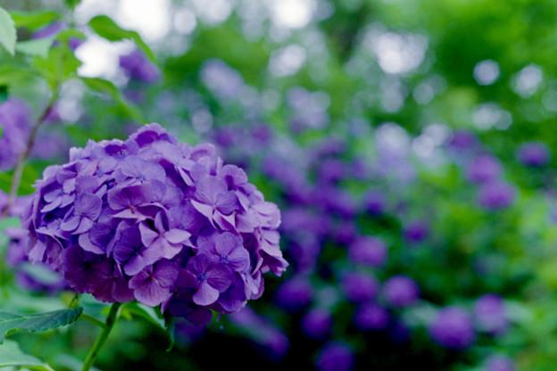 Photos: 薬師池公園【青色系のアジサイ】4銀塩