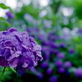 薬師池公園【青色系のアジサイ】4銀塩