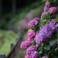 薬師池公園【赤色系のアジサイ】3
