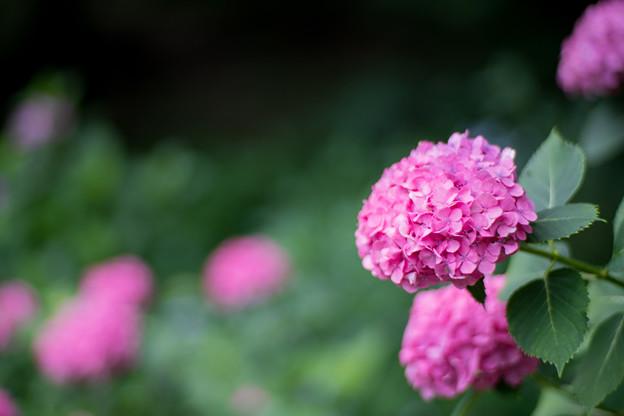 薬師池公園【赤色系のアジサイ】4