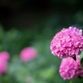 Photos: 薬師池公園【赤色系のアジサイ】4