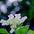 薬師池公園【額アジサイ】7銀塩