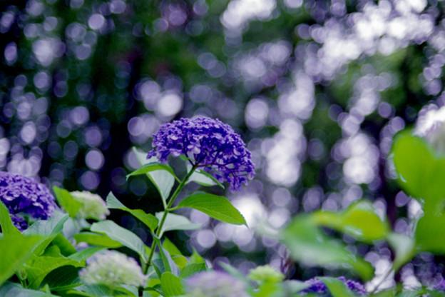 薬師池公園【渦アジサイ】3銀塩