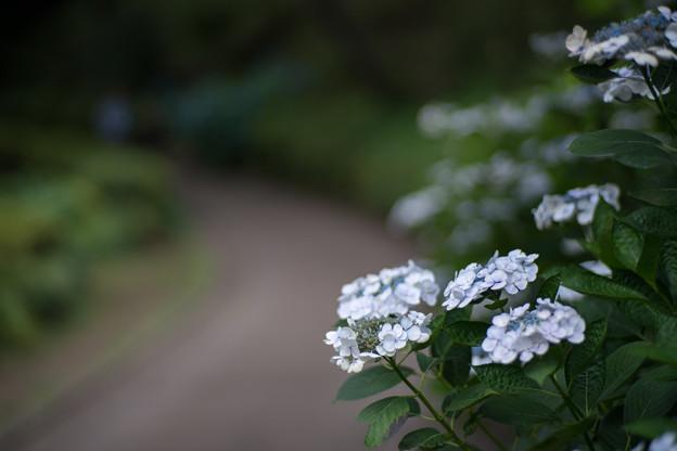 薬師池公園【白色系のアジサイ】
