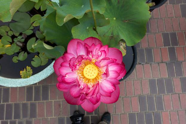 大船フラワーセンター【蓮の花:紅富士】2
