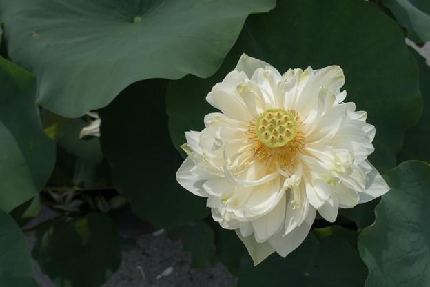 大船フラワーセンター【蓮の花:植松】