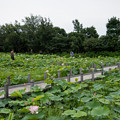 【花菜ガーデンの眺め】2