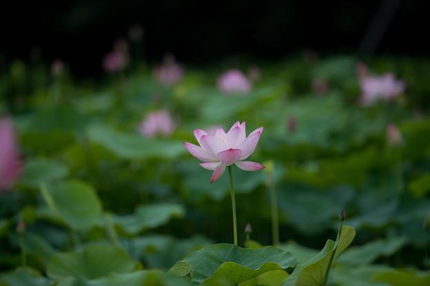 花菜ガーデン【蓮の花】1