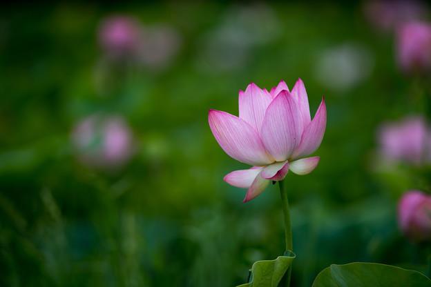 花菜ガーデン【蓮の花】2