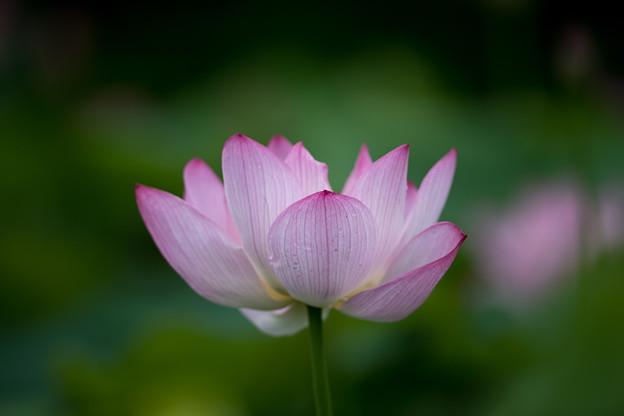 花菜ガーデン【蓮の花】3