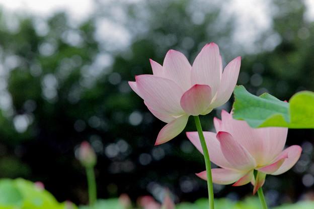 花菜ガーデン【蓮の花】1銀塩