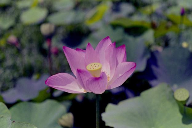 花菜ガーデン【蓮の花】2銀塩