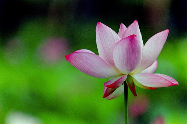 花菜ガーデン【蓮の花】4銀塩