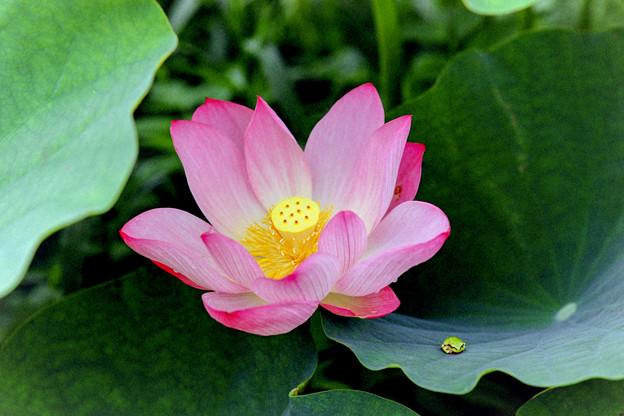 花菜ガーデン【蓮の花】5銀塩