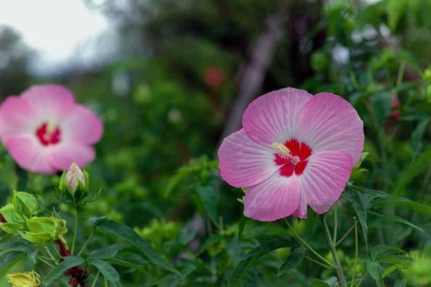 花菜ガーデン【タイタンビカス】4銀塩