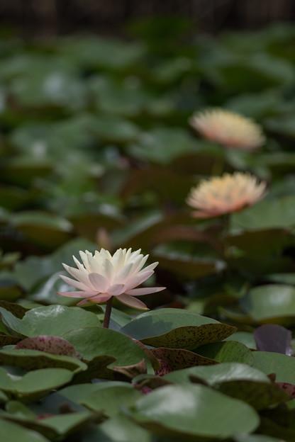 花菜ガーデン【スイレン】3