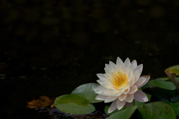 花菜ガーデン【スイレン】7