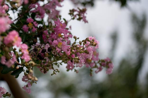花菜ガーデン【サルスベリ】2