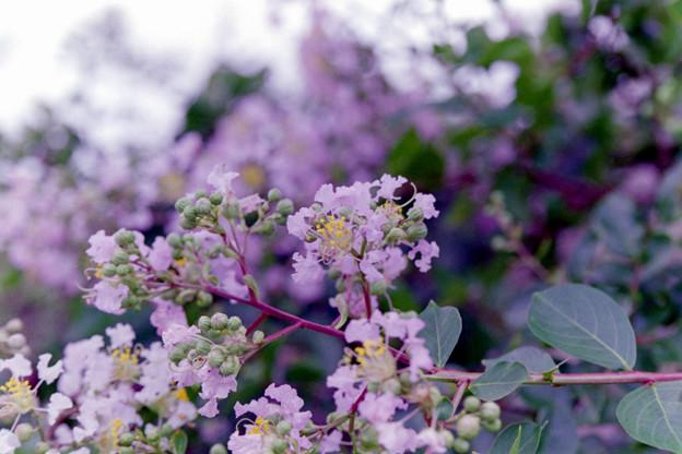 花菜ガーデン【サルスベリ】3銀塩