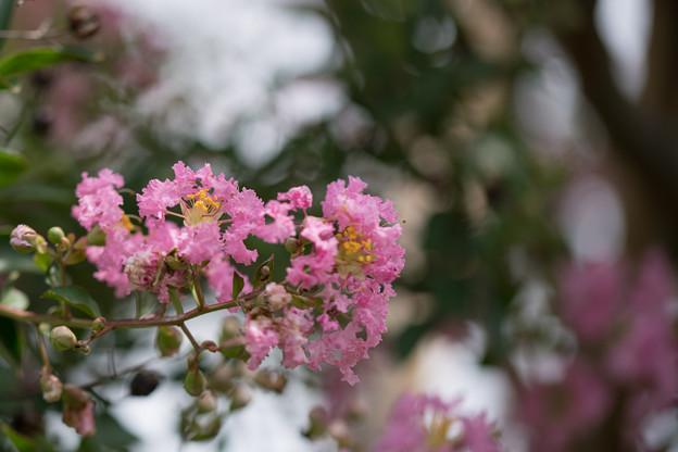 花菜ガーデン【サルスベリ】4