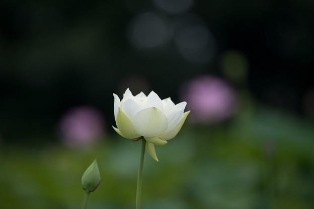 花菜ガーデン【蓮の花(友誼牡丹蓮)】1