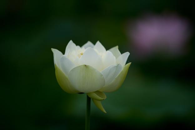 花菜ガーデン【蓮の花(友誼牡丹蓮)】2