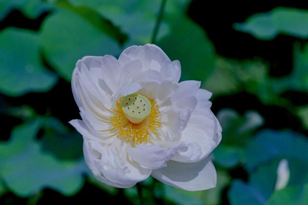 花菜ガーデン【蓮の花(白雪公主)】1銀塩