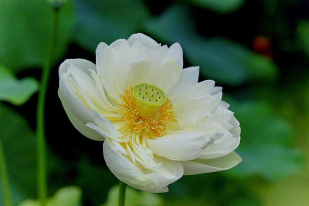 花菜ガーデン【蓮の花(白雪公主)】2銀塩