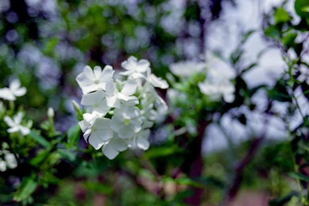花菜ガーデン【宿根フロックス】1銀塩