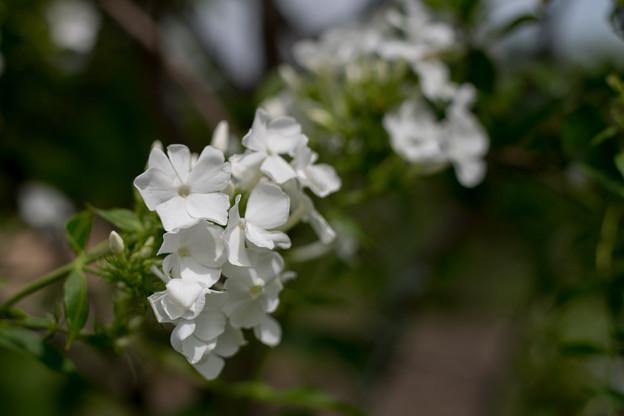 花菜ガーデン【宿根フロックス】2