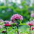 Photos: 花菜ガーデン【ボタンクサギ】1銀塩