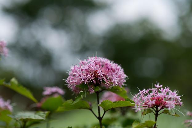 花菜ガーデン【ボタンクサギ】3