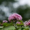 Photos: 花菜ガーデン【ボタンクサギ】3