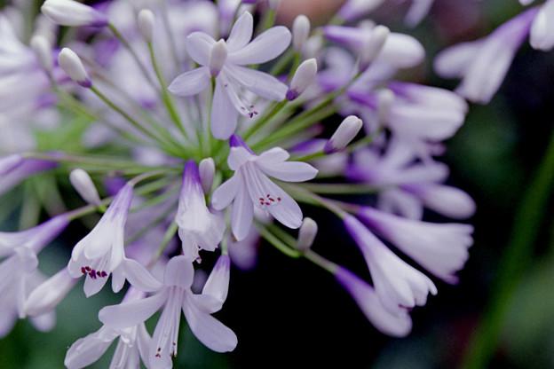 花菜ガーデン【アガパンサス】2銀塩