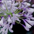 Photos: 花菜ガーデン【アガパンサス】2銀塩
