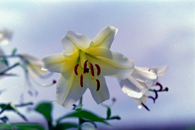 Photos: 花菜ガーデン【ユリ】2銀塩