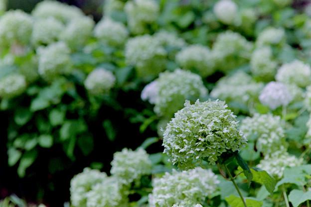 花菜ガーデン【アナベル】銀塩