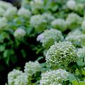 Photos: 花菜ガーデン【アナベル】銀塩