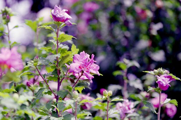 花菜ガーデン【ムクゲ】1銀塩