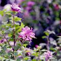 Photos: 花菜ガーデン【ムクゲ】1銀塩