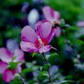 Photos: 花菜ガーデン【ムクゲ】2銀塩